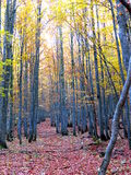 Path in autumn beech forest Stock Photography