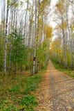 Path in autumn birch grove Stock Photo
