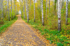 Path in autumn birch grove Stock Photos