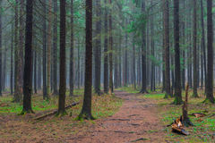 The path in the autumn coniferous forest Stock Images
