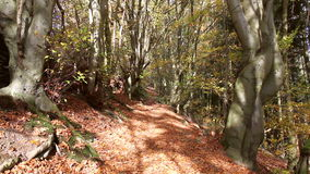 Path in the autumn forest. stock video footage