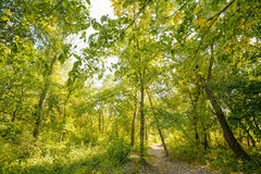 Path in the Autumn Forest. Autumn forest path between maple and poplar trees in a sunny day Royalty Free Stock Image
