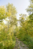 Path in the Autumn Forest. Autumn forest path between maple and poplar trees in a sunny day Royalty Free Stock Photography