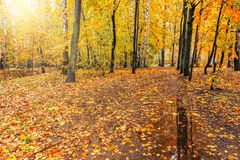 Path in the autumn forest. Royalty Free Stock Image