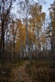 Path through autumn forest with tall birch trees.  stock photo