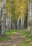 The path among the autumn trees, birch trees with yellow leaves. Footpath, dirt track in the Park, in the woods with fallen leaves among, between autumn trees stock photography