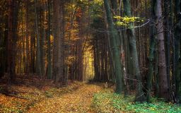 Path Through Autumn Trees in the Forest Stock Image