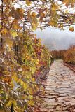 Path in autumn vineyard Stock Images