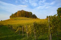 Path through autumn vineyard on hill with yellow leaves in Switzerland royalty free stock photography