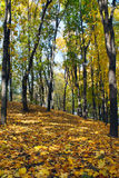 Path in autumn wood. Trail through autumn forest, strewn with yellow fallen leaves Stock Photos