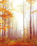 Path in autumn woods with fog. Royalty Free Stock Photo