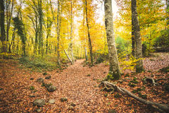 Path in autumnal forest covered with foliage Stock Images
