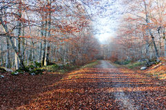 Path in autumnal forest with last sun rays Royalty Free Stock Photography