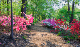 Path Through Azaleas Washington DC Arboretum. The Henry Mitchell woodland path winds through multi-colored cultivated azaleas in springtime bloom at the National Stock Images