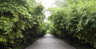Path of Bamboo. A pathway leads down through the bamboo thickets in a park in Chengdu, China Stock Photo