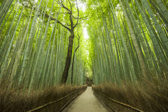 Path of Bamboo, Arashiyama, Kyoto, Japan. The Arashiyama Bamboo Grove is one of Kyoto's top sights and for good reason, standing amid these soaring stalks of Stock Photo
