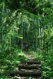 Path through bamboo forest Stock Image