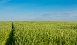 The path by barley as a background. Green barley with narrow footpath under blue summer sky Royalty Free Stock Image