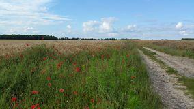 A path between barley fields and poppies Royalty Free Stock Image