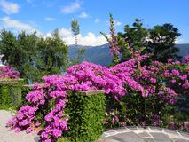 Path, beauty pink flowers, exotic plants at Brissago island in Switzerland Royalty Free Stock Photos