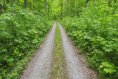 Path through beech forest Royalty Free Stock Images
