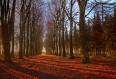 Path through Beech forest. Fallen leaves on a path through a Beech forest in autumn Stock Photography