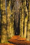 Path through Beech forest Royalty Free Stock Photo