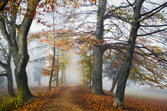 Path with beechtrees in the mist in autumn Royalty Free Stock Photos