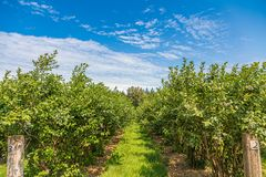 Free Path Between Blueberry Bushes Stock Images - 159920434