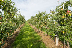Path Between Low Espaliers In An Apple Orchard Royalty Free Stock Images