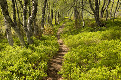 Path among bilberry bushes Royalty Free Stock Photo
