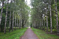 Path through the birch alley in park stock photo