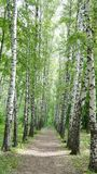 A path in the Birch Alley stock photo