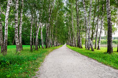 Path in birch forest Stock Image