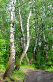 Path in the birch forest Stock Photo