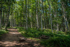 Path in the birch forest Stock Photos