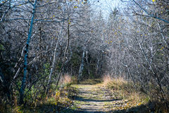 Path through a birch forest, Spirit Sands Park, Manitoba Royalty Free Stock Photos