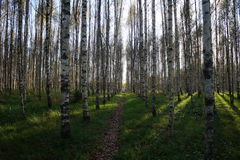 Path in the birch forrest Royalty Free Stock Images
