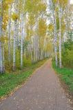 Path in birch grove Stock Image
