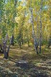 Path in a birch grove. Autumn landscape. Stock Photos