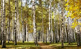 Path in birch sunny forest Stock Photo