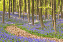 Path through the blooming bluebell forest in Belgium Royalty Free Stock Photos