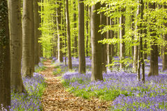 Path through a blooming bluebell forest in Belgium Stock Photos