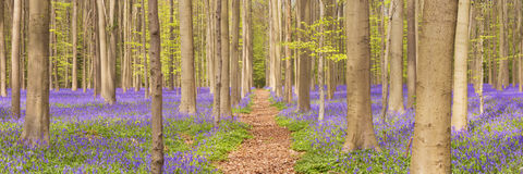 Path through the blooming bluebell forest in Belgium. A path through a beautiful blooming bluebell forest. Photographed in the Forest of Halle Hallerbos in Royalty Free Stock Photos