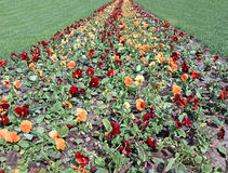 Path of blooming flowers the brown and orange Pansies Stock Photo