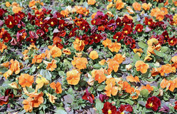 Path of blooming flowers the brown and orange Pansies Stock Photography