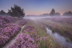 Path through blooming heather at dawn. Path through blooming heather on a foggy morning at dawn, photographed in The Netherlands royalty free stock photos