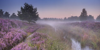 Path through blooming heather at dawn. Path through blooming heather on a foggy morning at dawn, photographed in The Netherlands stock images