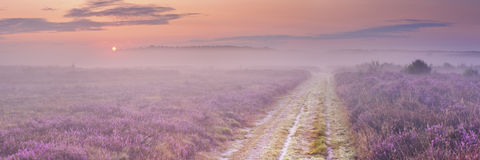 Path through blooming heather in The Netherlands Royalty Free Stock Photo