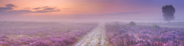 Path through blooming heather in The Netherlands. A path through blooming heather in The Netherlands on a beautiful foggy morning at sunrise Royalty Free Stock Photo
